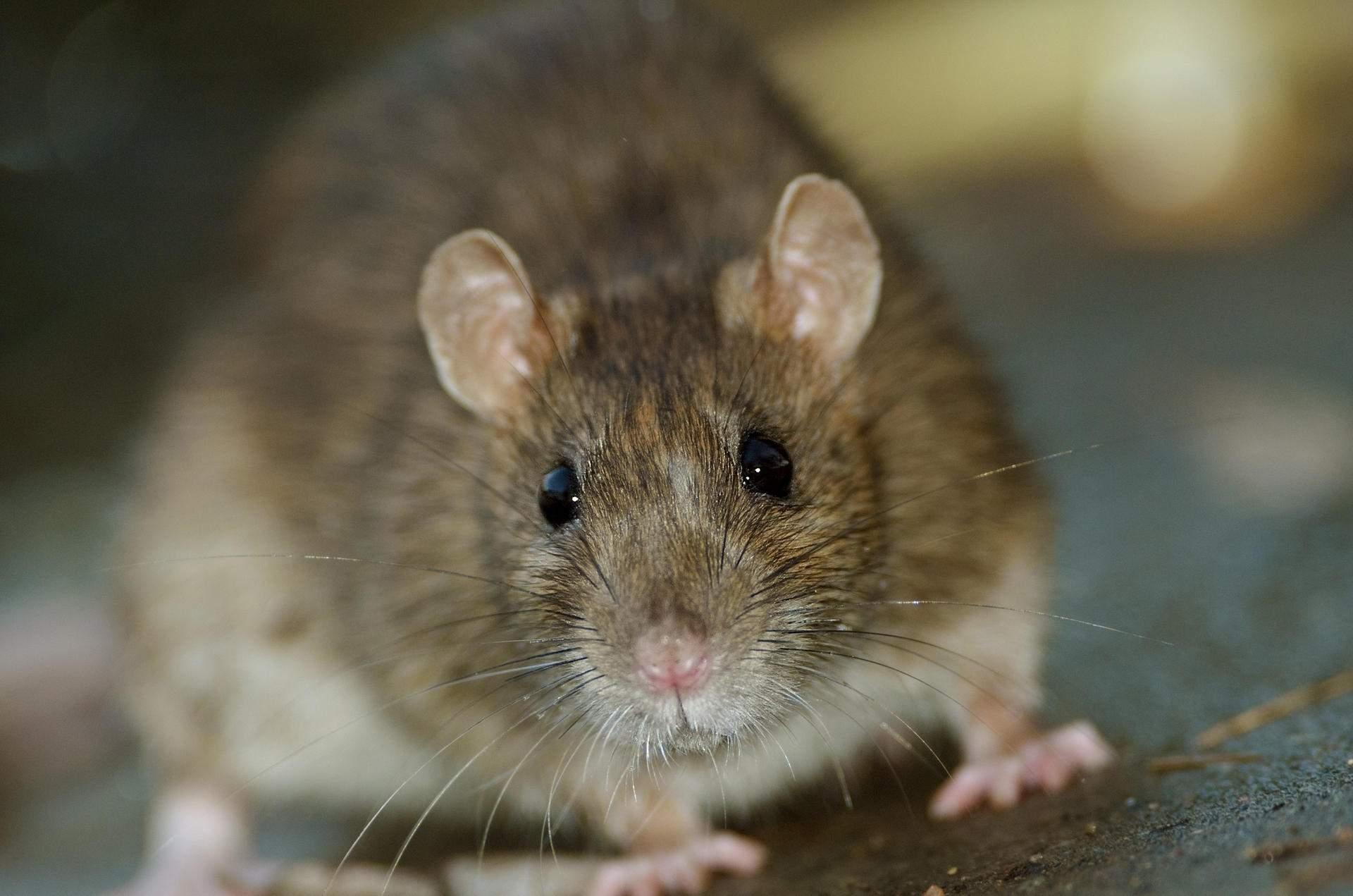 Ratten Im Garten Bekämpfen Neu Ratten Im Haus Erkennen Vu64