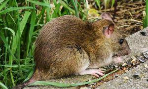 28 Schön Ratten Im Garten Bekämpfen Das Beste Von