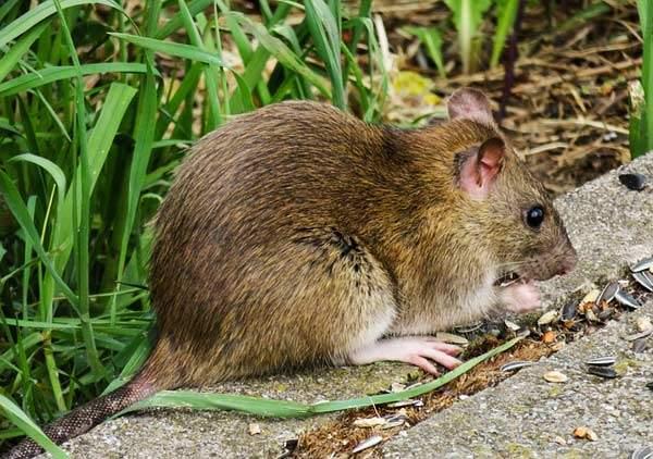 Ratten Im Garten Bekämpfen Reizend Ratte Oder Maus Im Garten Jp26