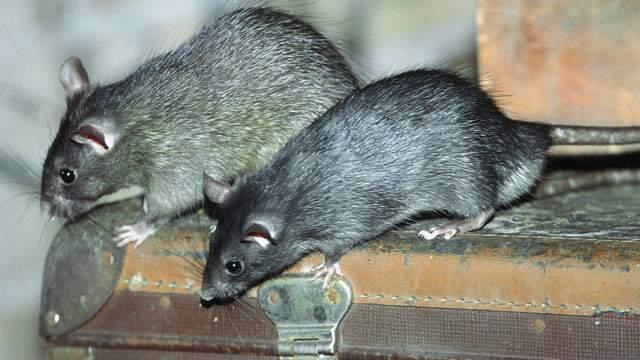 ratten vertreiben und bekaempfen tipps gegen ratten im haus