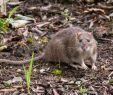 Ratten Im Garten Bekämpfen Schön Ratten Im Garten Erkennen Und Effektiv Bekämpfen Haus