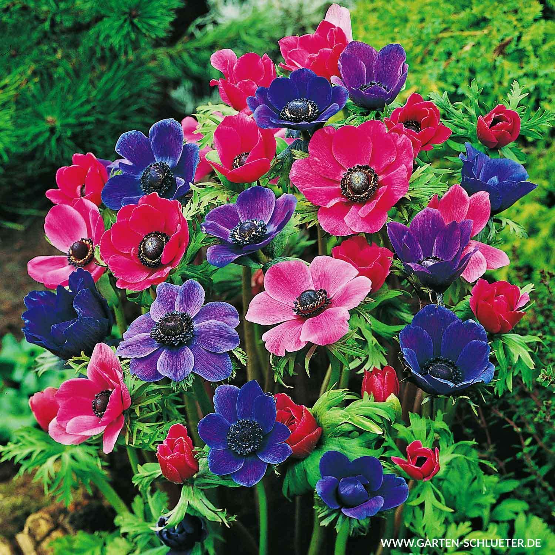 lilien im garten schon garten anemone de caen mischung 15 stuck of lilien im garten