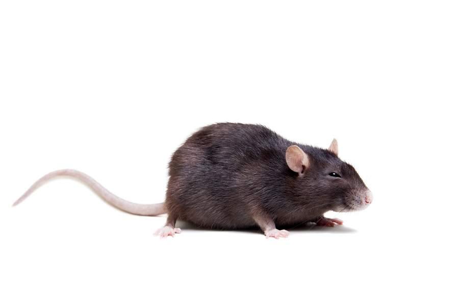 imposing rattenlocher im garten innerhalb ratten ratgeber