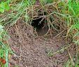 Rattenlöcher Im Garten Elegant Garten Zeitgenössisch Rattenlöcher Im Garten Mit Löcher