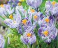 Romantischer Garten Elegant Großblumige Krokusse Pickwick 15 Stück Crocus Pickwick