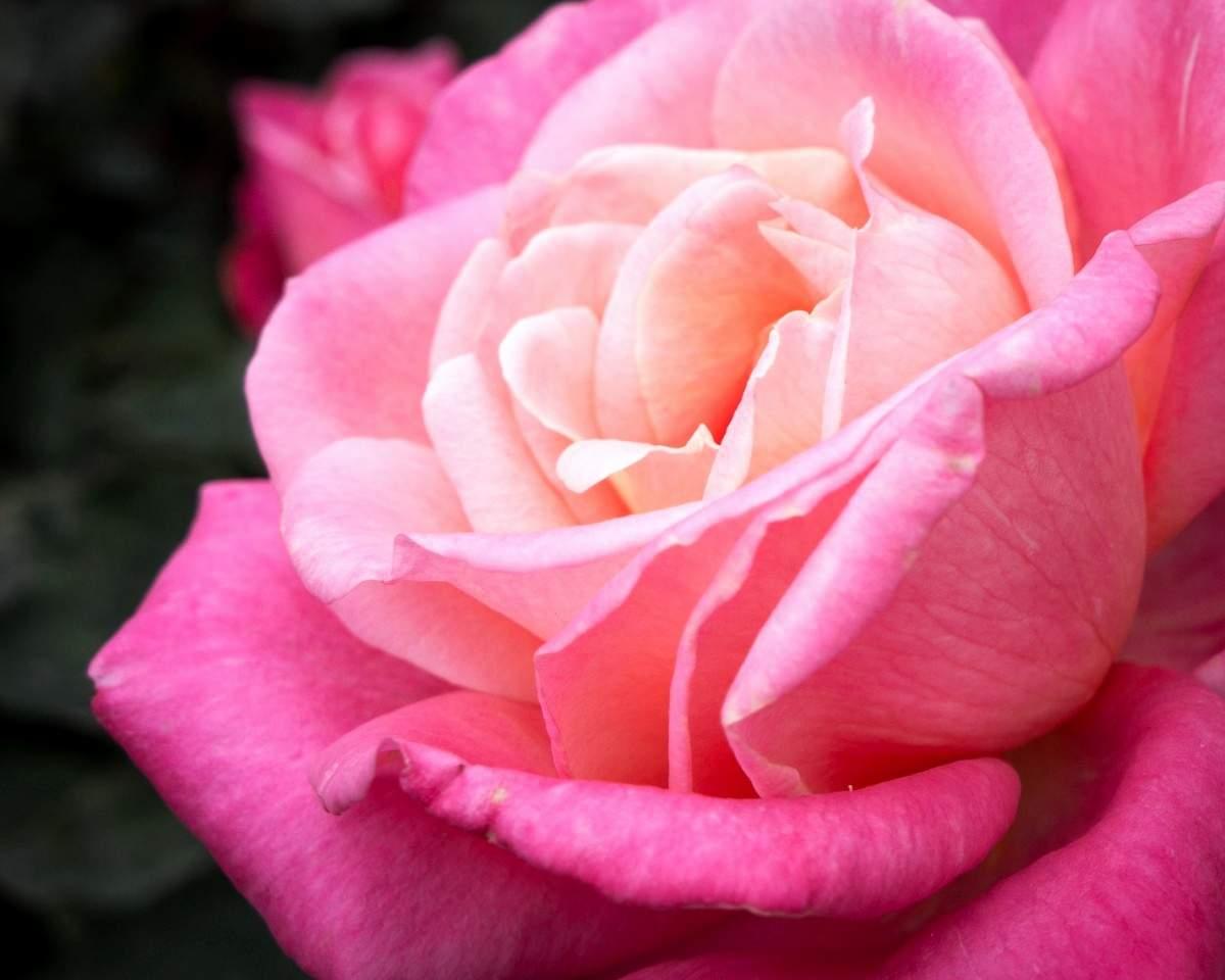 rote rosen bilder kostenlos best kostenlose foto blume blutenblatt rot garten rote rose of rote rosen bilder kostenlos