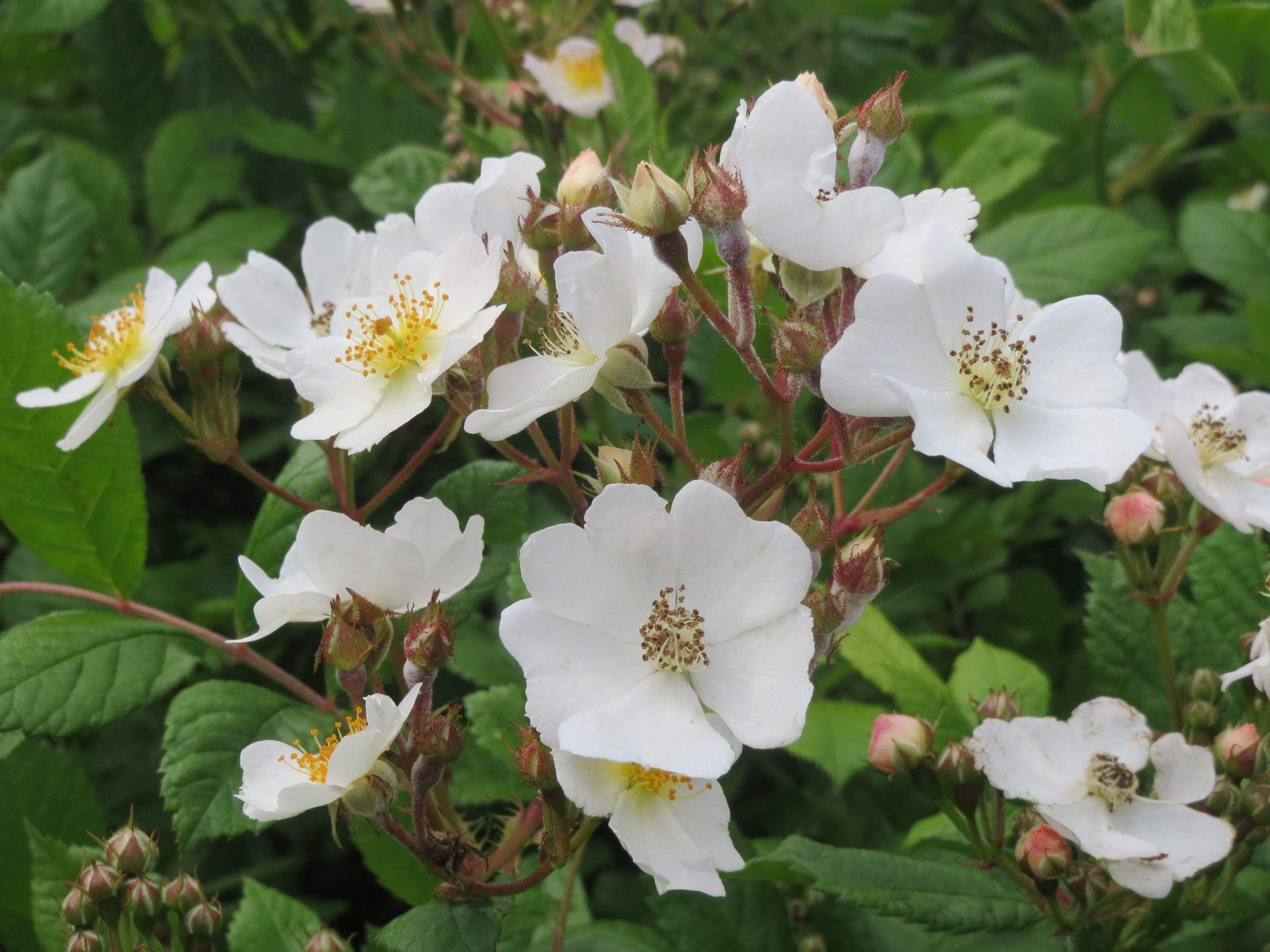 Rosa multiflora04