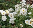 Rosen Im Garten Schön Bodendeckerrose Schneeflocke