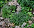 Rosmarin Im Garten Reizend Pin Auf Flora Und Fauna
