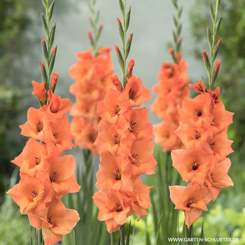 1 Gladiole Peter Pears 10 Stueck Gladiolus