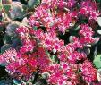 Schneckenplage Im Garten Neu Oktoberfetthenne Robustum Sedum Cauticola Robustum