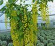 Schwarzer Garten Elegant Goldregen Vossii