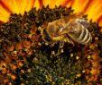 Schwarzer Garten Reizend Wie Macht Ihr Das Um Schöne sonnenblumen Im Garten Zu Haben