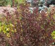 Schwarzer Garten Schön Fasanenspiere Little Devil Physocarpus Opulifolius Little Devil