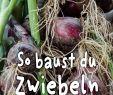 Selbstversorger Garten Anlegen Genial Zwiebel Anbauen – Schritt Für Schritt Anleitung