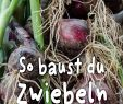 Selbstversorger Garten Schön Zwiebel Anbauen – Schritt Für Schritt Anleitung