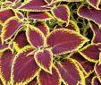 Sommerblumen Garten Frisch Buntnessel Wizard Scarlet Coleus Wizard Scarlet