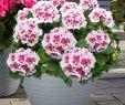 Sommerblumen Garten Luxus Alpen Geranien Americana White Splash