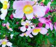 Sommerblumen Garten Schön Euchinacea sonnenhut Anemone Windrösschen Meingarten