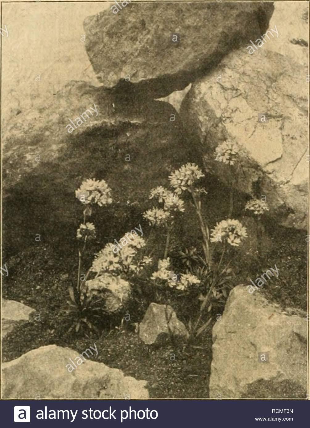 gartenwelt gardening 306 garteuwelt xxll 31 doldentraubigen bltchen sind von prachtvoller rosenroter frbung im sdlichen tirol in der schweiz und italien wchst se art auf wiesen und gebirgstriften im park sowie auf der staudenrabatte ist sie eine hbsche erscheinung hufigere verwendung ver nt h zrnitz lychnis alpina jeffersonia dubia beoth se aus der mandschurei bei uns eingefhrte pflanze ist in der kultur noch wenig anzutreffen als waldhumuspflanze hat sie eine beschrnkte verwendung jeffersonia bildet kleine 1520 cm hohe bsche aus der p RCMF3N