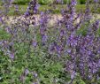 Stauden Garten Elegant 1x Staude Pflanze Katzenminze Six Hills Giant Nepeta
