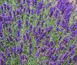 Stauden Im Garten Frisch Lavendel Imperial Gem Lavandula Angustifolia Imperial Gem