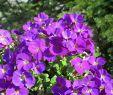 Steinmauer Garten Sichtschutz Einzigartig Grasnelke Splendens Armeria Maritima Splendens Sehr