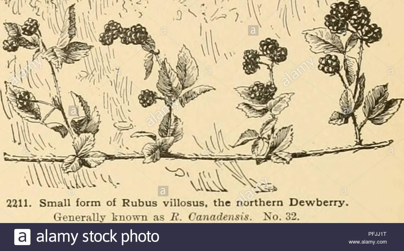 cyclopedia der amerikanischen gartenbau bestehend aus anregungen fur den anbau von gartenpflanzen beschreibungen der arten von obst gemuse blumen und zierpflanzen in den vereinigten staaten und in kanada verkauft zusammen mit geographischen und biographische skizzen gartenbau gartenbau gartenbau gartenbau rubusgt iweet in den bergen in der particuliilj coist picifio kauges der hang auch in idaho it hat in bome prominenz kommen als eine frucht pflanze innerhalb der letzten dutzend sorten aughinbaugh jeais genannt sind hkagit chief belle von washington und ashington cli pfjj1t