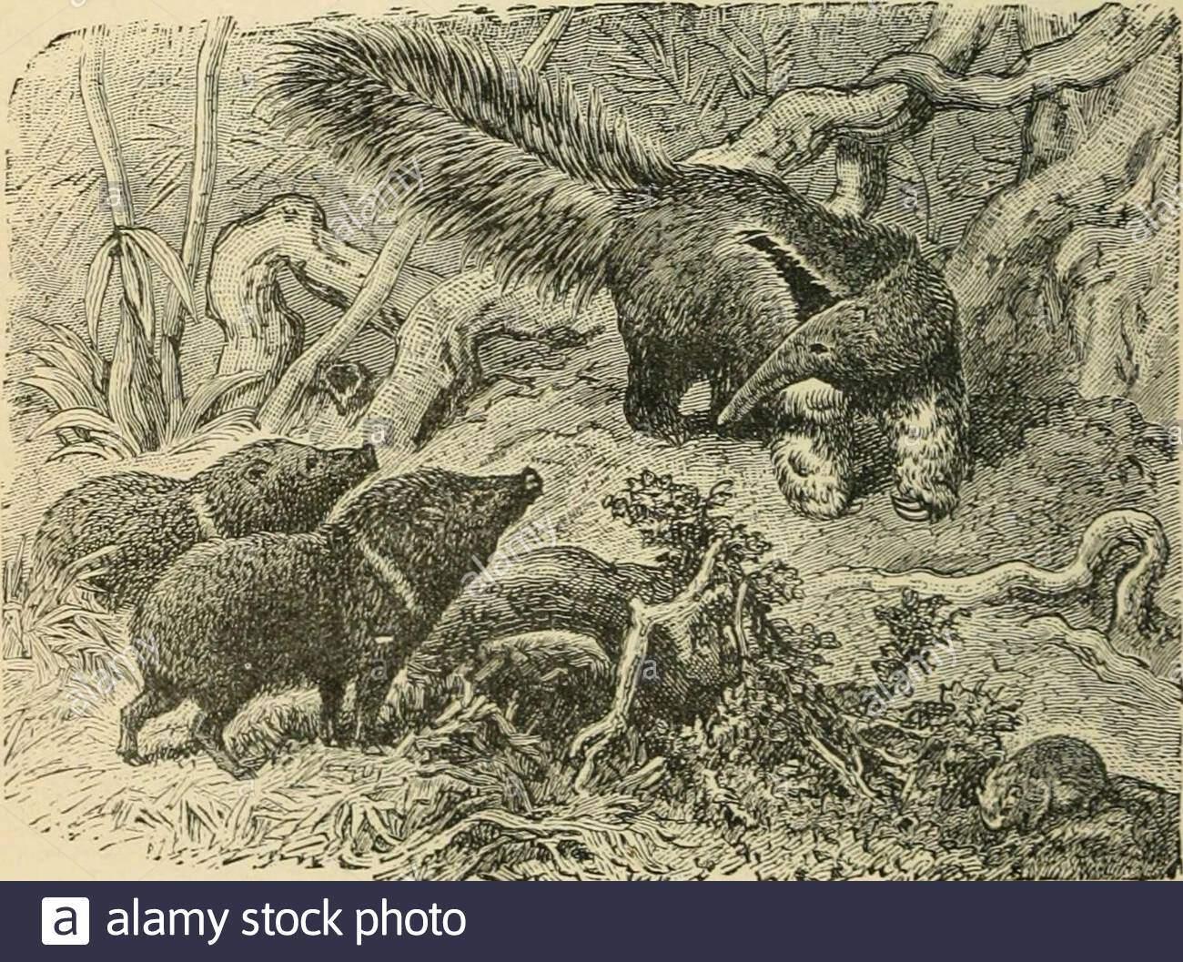 bewohner der welt oder menschen tieren und pflanzen ist ein beliebtes berucksichtigung der rassen und nationen der menschheit der vergangenheit und der gegenwart und tiere und pflanzen das bewohnen des grossen kontinenten und inseln 6 alpaka 7 llama jrh 8 peccary 9 ant eateelu guinea pig kopf und schlankere beine als das vikunja beide sind im wesentlichen moun tain stadtbewohner beide ochsen und pferde sind bekannt wild in der art laufen mussen namlich thellama 7 das alpaka 6 der gu anaco 31 und in der vi cuna 2 itis probablethat der twoformer aremerely tun mesticatedvarieties ofthe zwei lat ter t 2afm72d