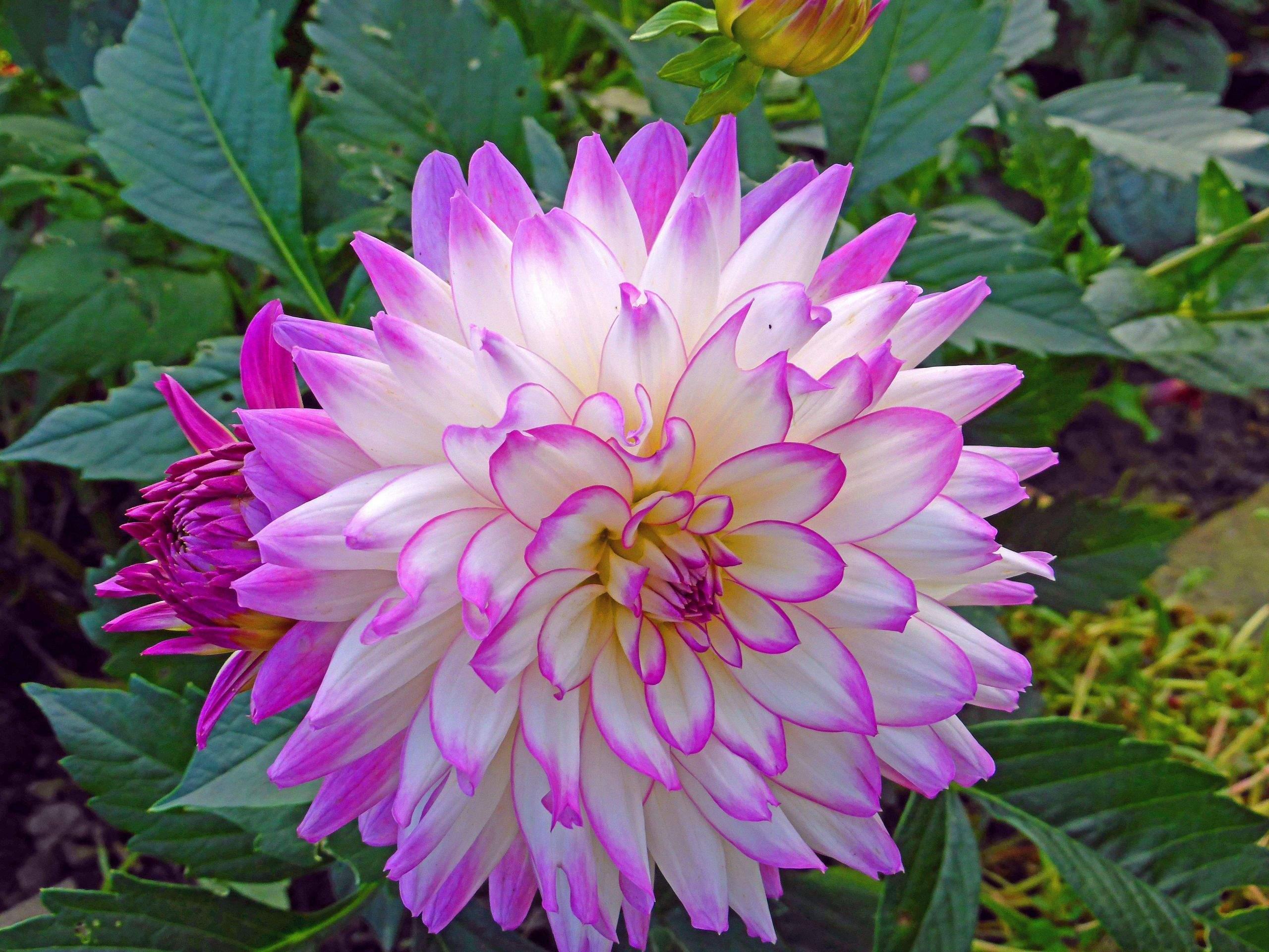 lilien im garten schon dahlie im garten dahlien uberwintern in schmid s of lilien im garten scaled