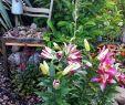 Toilette Im Garten Sickergrube Frisch 27 Reizend Lilien Im Garten Neu