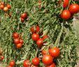 Tomaten Im Garten Inspirierend Bio Saatgut Freilandtomate Rondobella
