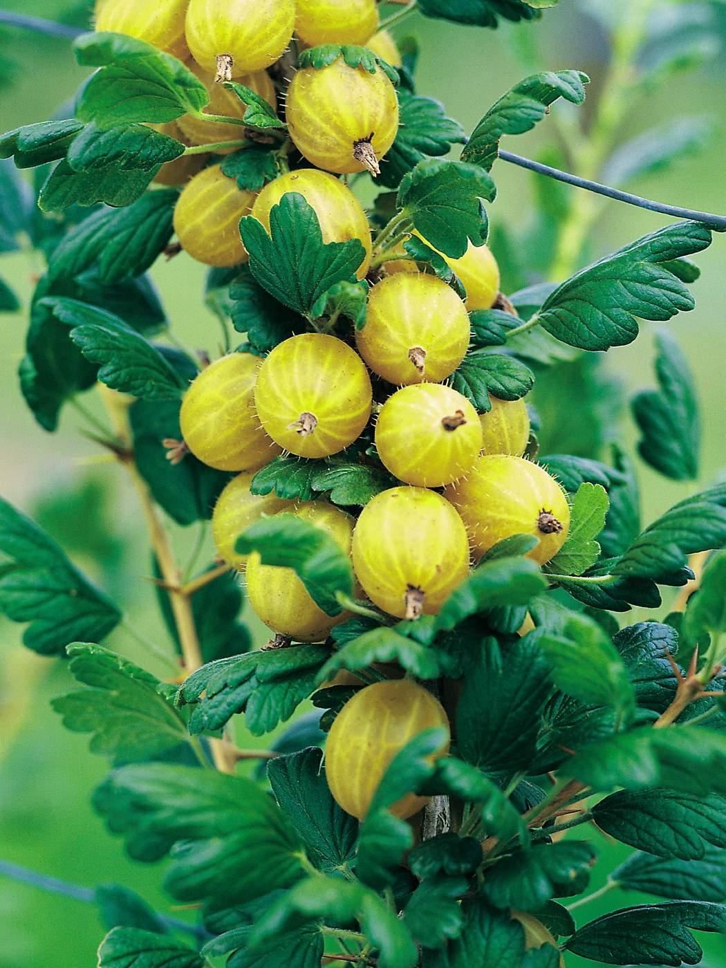 Beerenstraeucher Stachelbeeren