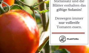 39 Elegant tomaten Im Garten Luxus