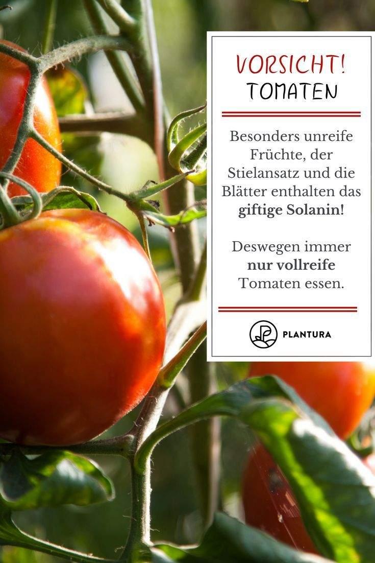 Tomaten Im Garten Luxus tomate Paradeiser & Pomodoro Im Portrait Herkunft Anbau