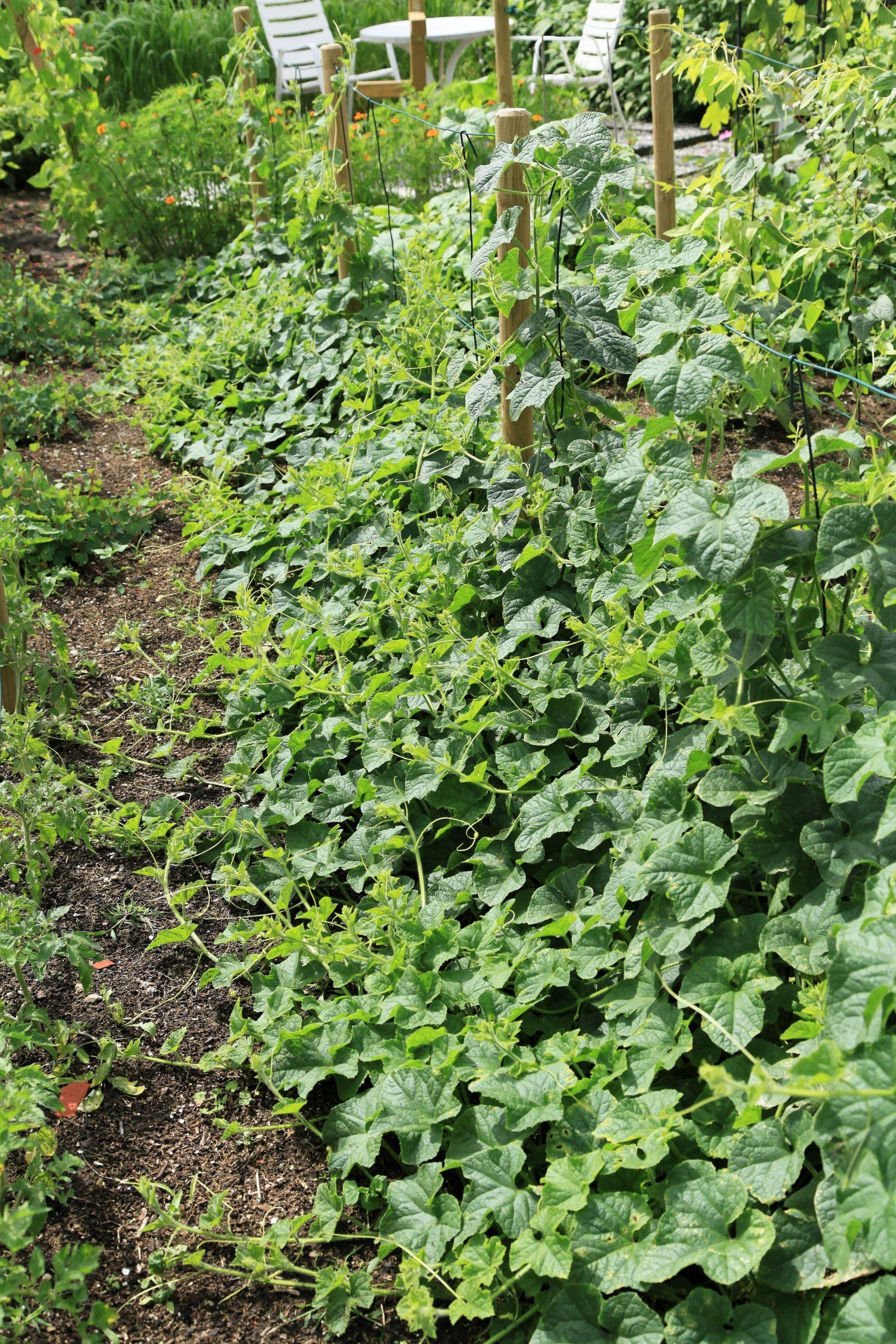 Horngurke Kiwano Cucumis metuliferus im Garten kletternd 08 ies