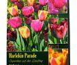 Tulpen Im Garten Luxus Harlekin Parade Tulpenmischung