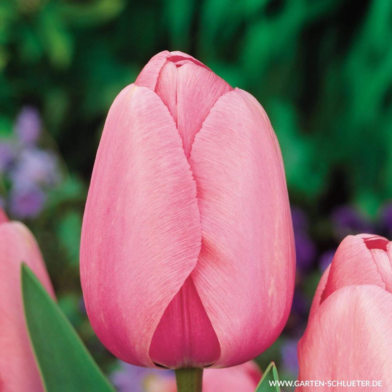1 Darwin Hybrid Tulpe Pink Impression 10 Stueck Tulipa Pink Impression 1280x1280