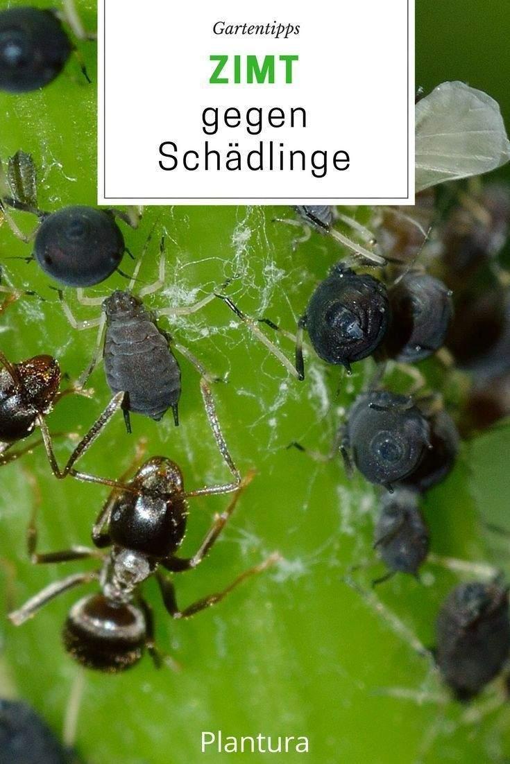 Ungeziefer Im Garten Reizend Zimt Im Garten Zimt Als Pflanzenschutz Und Gegen Ameisen