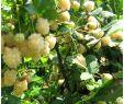 Unkraut Im Garten Bestimmen Einzigartig Weiße Brombeere Polar Berry Jetzt Bestellen Bei