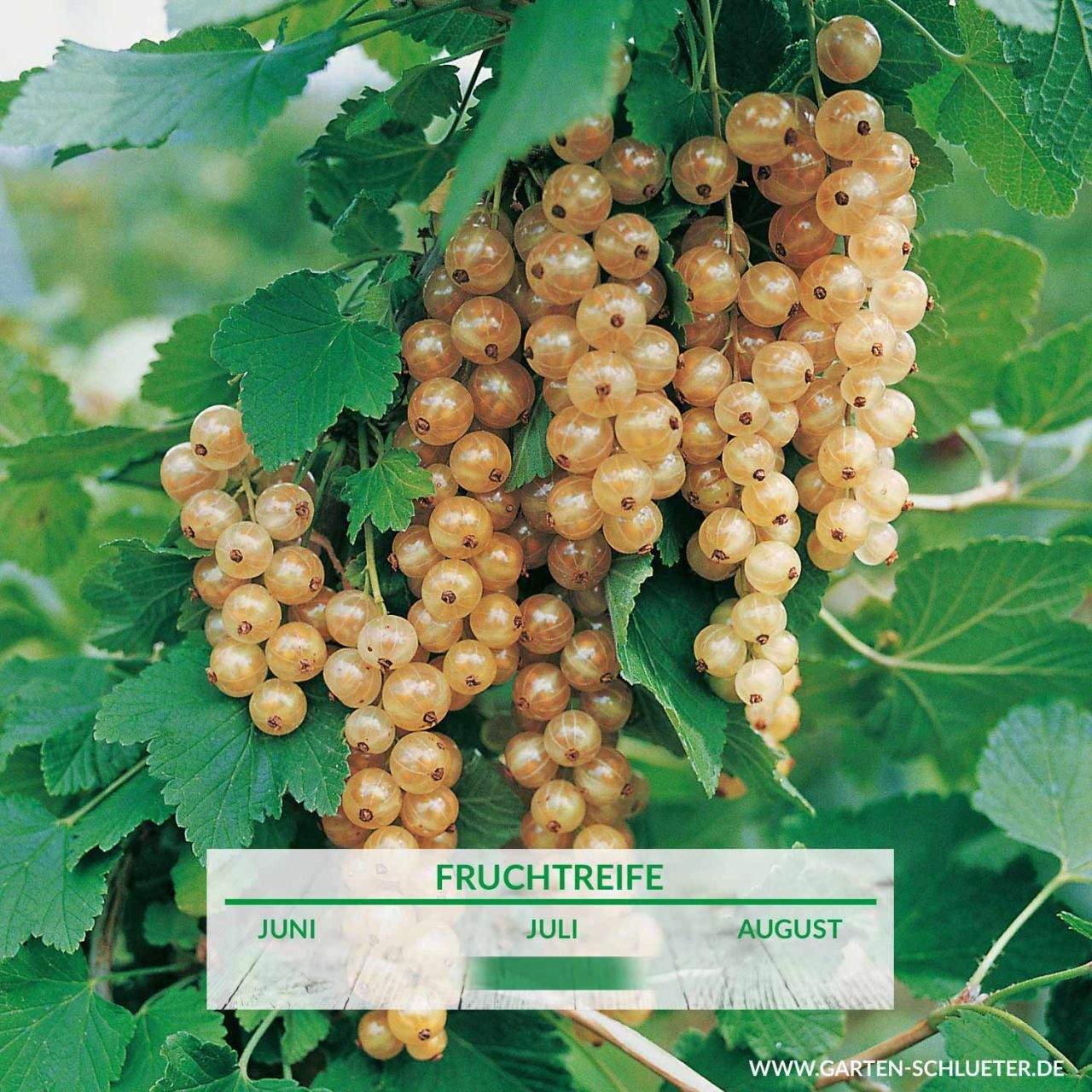 1 Weisse Johannisbeere Weisse Versailler Busch Ribes rubrum sativa Weisse VersaillereGMTMPLxoChGO 1280x1280