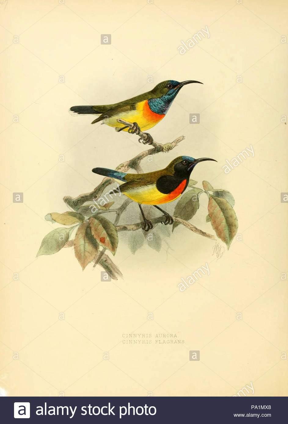 eine monographie uber nectariniidae oder familie des sonne vogel pa1mx8