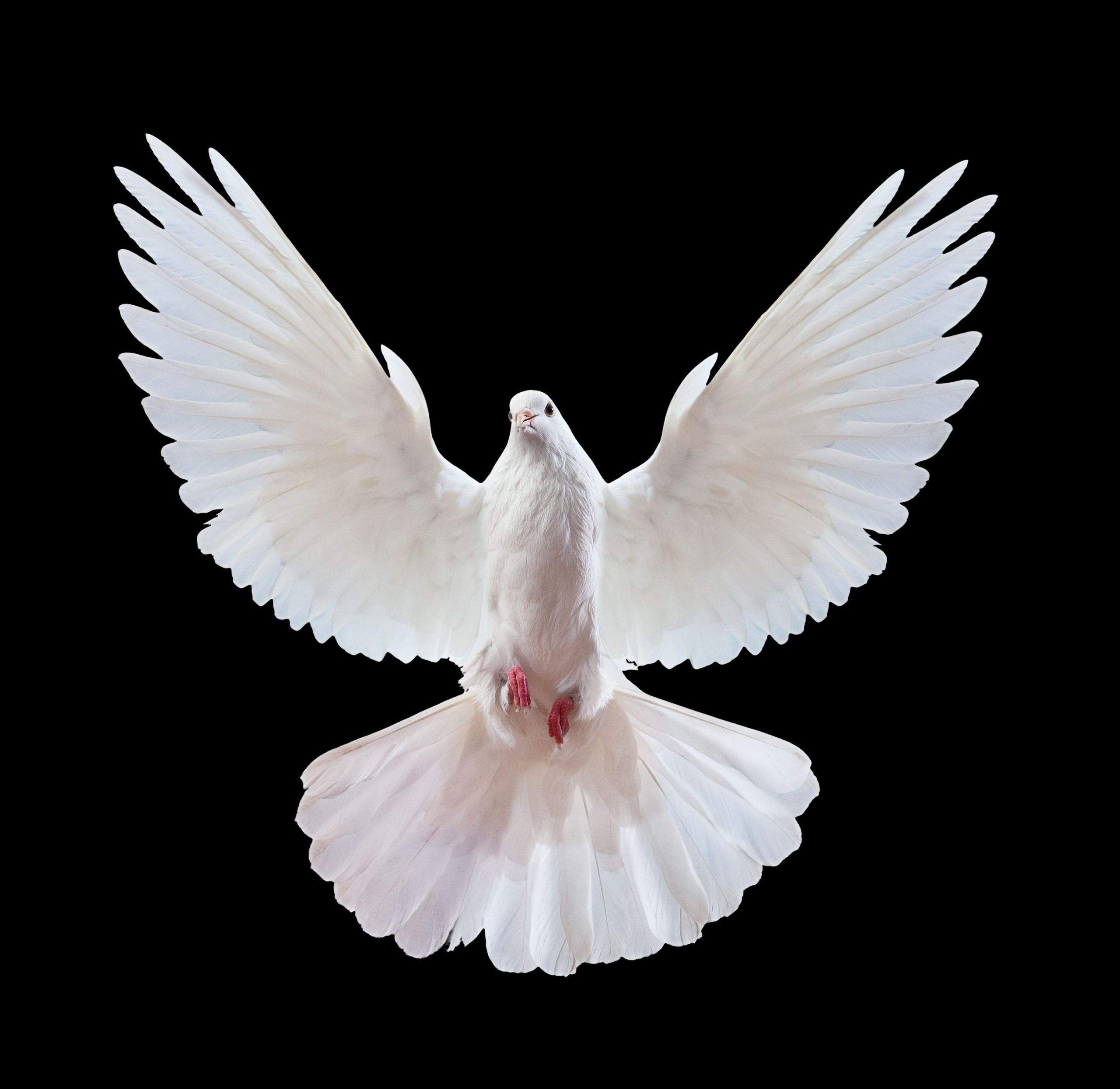 Vogel Garten Luxus Frei Fliegende Weisse Taube