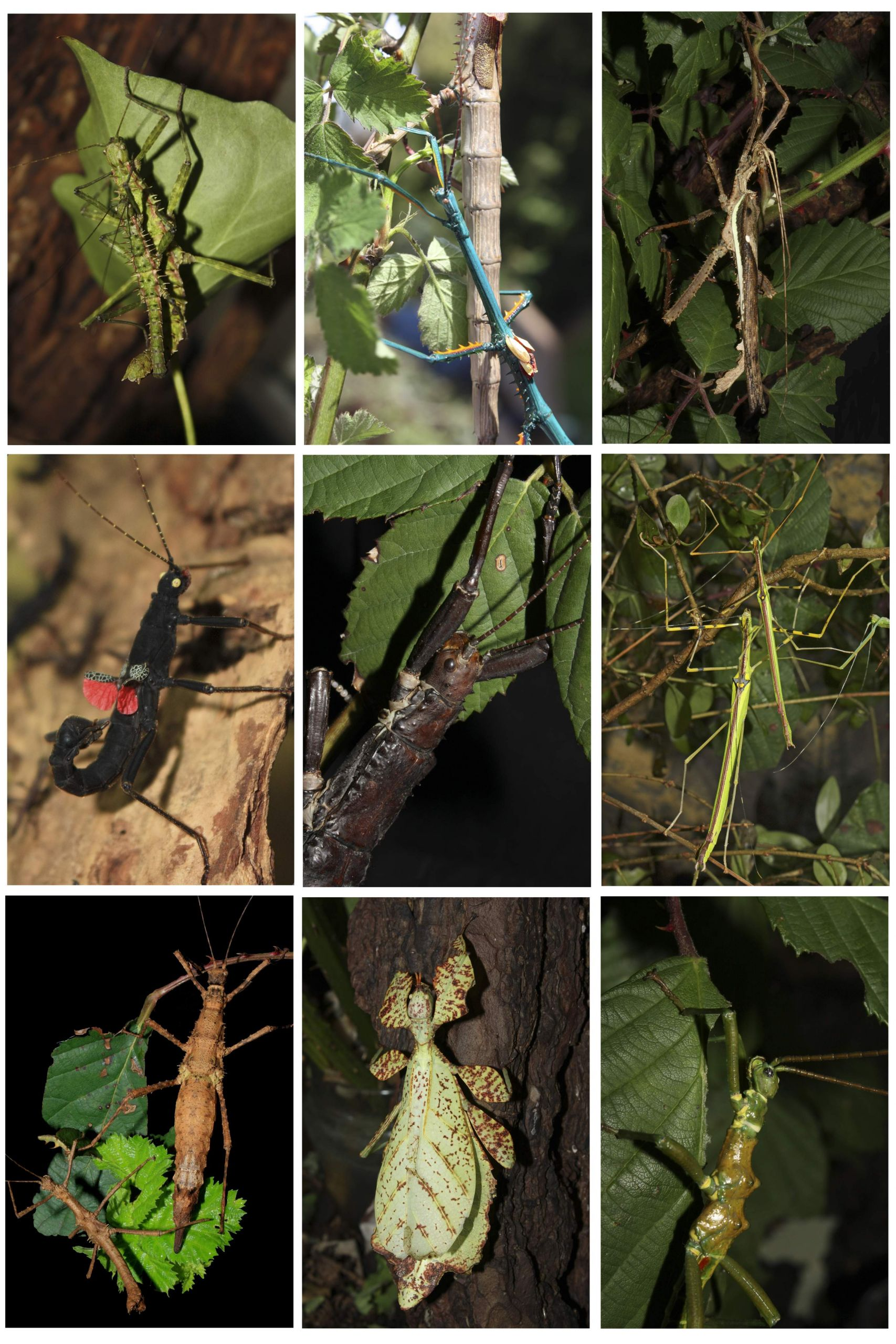 Phasmatodea overview