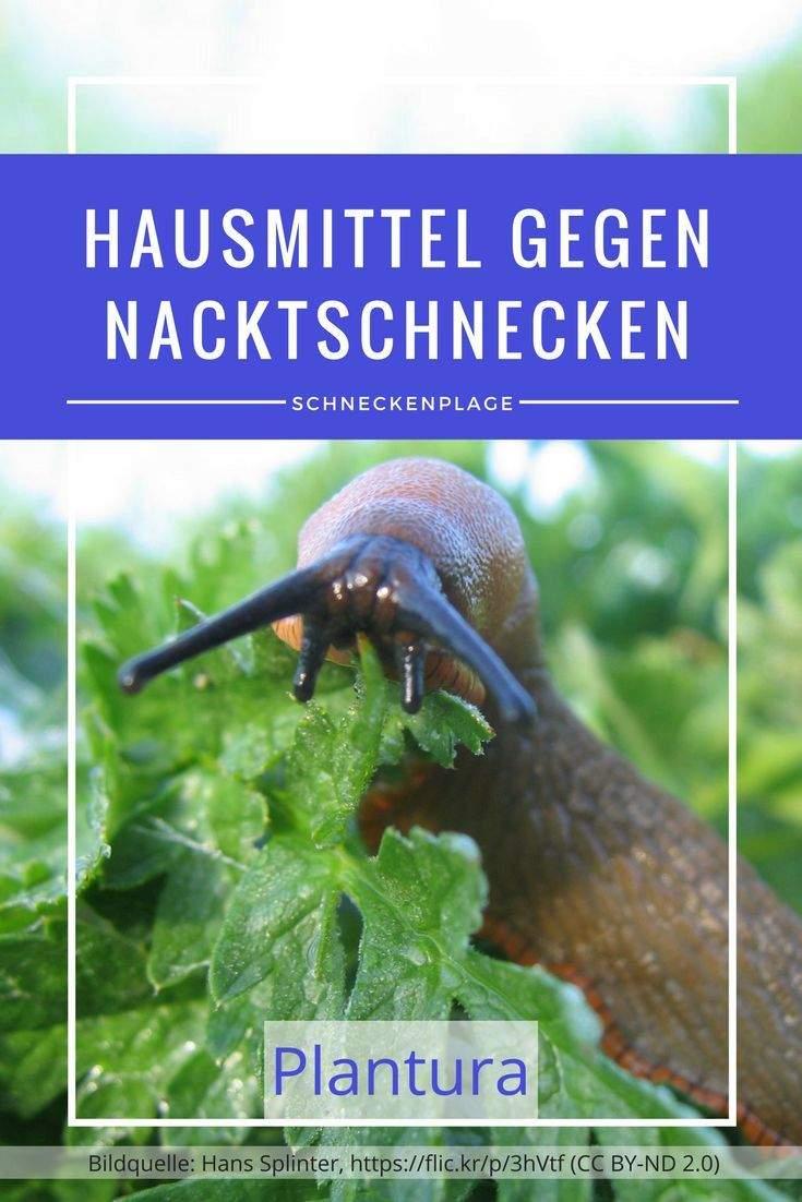 Was Hilft Gegen Schnecken Im Garten Schön Nacktschnecken Im Garten Bekämpfen Und Vertreiben
