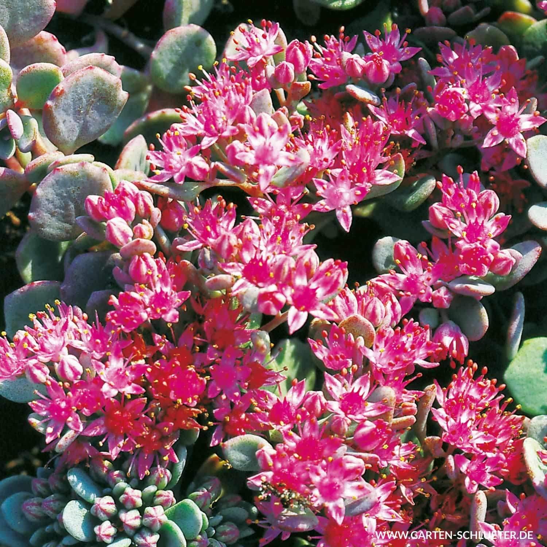 Weihenstephan Garten Schön Oktoberfetthenne Robustum Sedum Cauticola Robustum