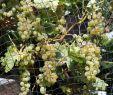 Weinreben Im Garten Elegant so Schützen Sie Weintrauben Vor Wespen Und Vogelfraß