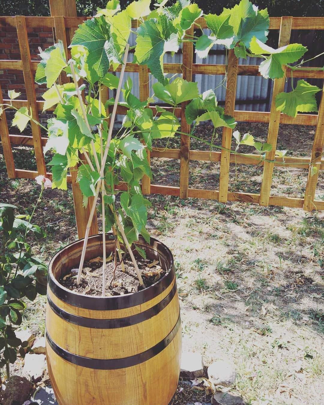 Weinreben Im Garten Elegant Wieder Was Von Der to Do Liste Abgearbeitet 👍 Garten