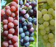 Weinreben Im Garten Frisch 3er Set Wein Venus Vanessa Lakemont Kernlose Kräftige Weinreben Im 3 5 Liter topf 60 100 Cm