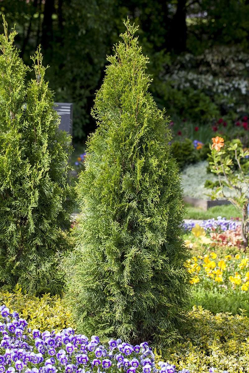 abendlandischer lebensbaum thuja occidentalis thuja occidentalisb48UCe2OtrX3G
